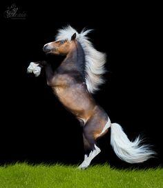 Miniature Horse stallion Anzhelo