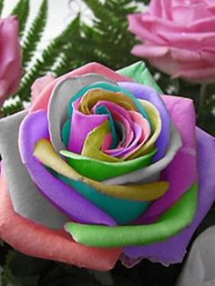 Flower seeds Bonsai 50 pcs Semillas Rosa Rainbow Cream Rose Seeds Home & Garden