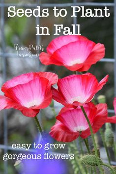 Fall Vegetable Gardening Sow your seeds in Fall! Planting seeds in Fall can give you a jump start on many perennial and biennial plants. This article includes just some of the fabulous flowers you can get started from seed in this Fall. Easy To Grow Flowers, Growing Flowers, Fall Flowers, Planting In The Fall, Planting Flowers From Seeds, Colorful Flowers, Pink Flowers, Garden Seeds, Planting Seeds