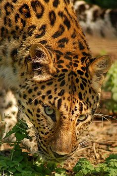 Amur Leopard 2. Only 30 left.   So beautiful and so precious.  Rarest cat in world.