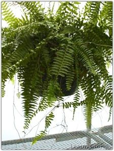 Quick and easy fern propagation