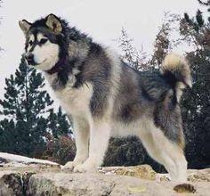 Alaskan Malamute E Alaskan Malamute Ejemplos Malamute Dog