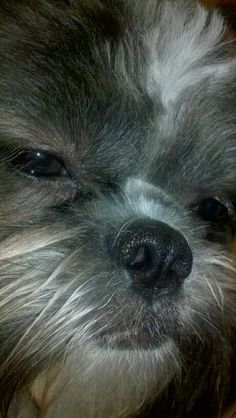 Pictures of Shih Tzu Dog Breed looks so much like Jennie Shih Tzu Mix, Shih Tzu Puppy, Shih Tzus, Cute Puppies, Cute Dogs, Dogs And Puppies, Doggies, Paws And Claws, Dog Rules