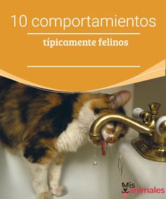10 comportamientos típicamente felinos - Mis animales  Si no has tenido gatos antes, es normal que al principio te resulten extraños, así te queremos dar a conocer 10 comportamientos típicamente felinos.