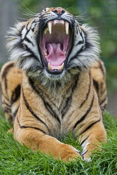 Yawning Sumatran tiger II (by Tambako the Jaguar) | Photo To Art Guy