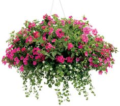 Hanging Basket 'Central Park' featuring: Calibrachoa 'Superbells Pink' and Bacopa 'Snowstorm Giant Snowflake'