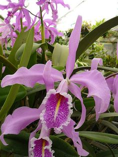 Orchid Plants, Exotic Plants, Exotic Flowers, Tropical Flowers, Amazing Flowers, Flower Beds, Flower Wall, Cattleya Orchid, Growing Orchids