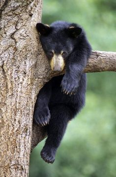 "Bear precautions taken in Great Smoky Mountains National Park because of increased activity ""Hey, I'm just climbing the tree! Nature Animals, Animals And Pets, Baby Animals, Funny Animals, Cute Animals, Wild Animals, Strange Animals, Photo Ours, Photo Animaliere"