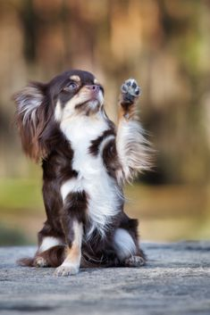 Adorable dog waves paw in the air Chihuahua Love, Chihuahua Puppies, Baby Puppies, Shelter Dogs, Animal Shelter, Animal Rescue, Mastiff Dogs, Dog Portraits, Humane Society