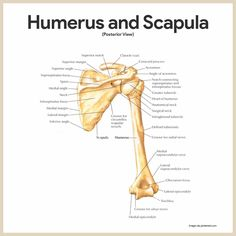 Humerus and Scapula-Skeletal System Anatomy and Physiology for Nurses https://nurseslabs.com/skeletal-system/
