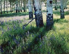 Aspens and Larkspur, Canjilon Lakes, New Mexico, June 11, 1958  love nature pictures