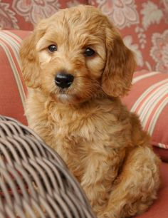 Valley Vineyard Labradoodles - Breeding the best Australian Labradoodle puppies, standard and mini, from our family to yours. Cute Dogs Breeds, Dog Breeds, Labordoodle Puppy, Cute Puppies, Dogs And Puppies, Doggies, Australian Labradoodle, Cute Creatures, Cool Pets