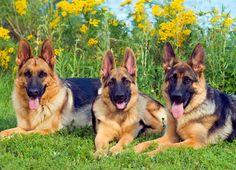 Just German Shepherds   PuzzleWarehouse.com