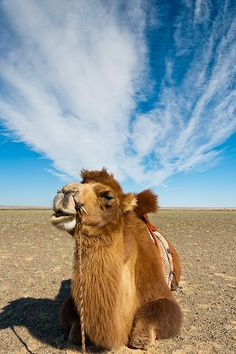 Mongolian Bactrian camels are native to the Gobi Desert. The most obvious difference from the one-hump camels of Africa and the Middle East is that they have two humps.