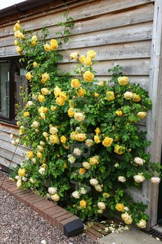 Graham Thomas English rose.RX FOR SAN DIEGO CAN DO A BUSH WITH AN ARCH INSTEAD OF CIIMBING