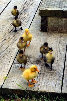 God and Country Living Cute Ducklings, Duck And Ducklings, Pet Ducks, Baby Ducks, Duck Pictures, Cute Animal Pictures, Cute Little Animals, Cute Funny Animals, Pato Animal