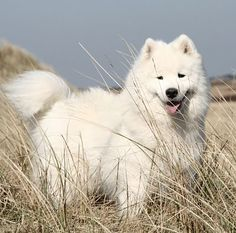Samoyed! They are also known as the smiling dog :)