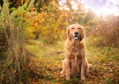 dog photo taken at the Seattle Fall, dog photography, Seattle pet photographer, outdoor dog photo, golden retriever photography, Seattle dog photography