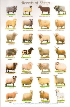 Breeds of Cattle Sheep by PaulChapmanFineArt animals Laminated Posters. Breeds of Cattle, Sheep or Pigs Pig Breeds, Sheep Breeds, Especie Animal, Animal Facts, Sheep Farm, Sheep And Lamb, Baby Sheep, Cattle Farming, Goat Farming