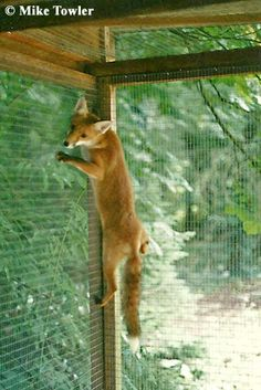 Fox-proofing. A must read for fencing.