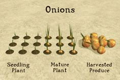 Have been farmed since before written history, and are commonly used in Middle Eastern food.