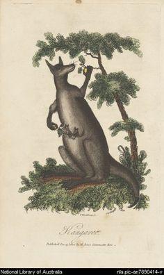 Woodthorpe, V., active 1794-approximately 1802. Kangaroo [picture]