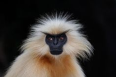 GOLDEN LANGUR or Gee's Golden Langur