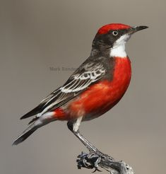 Male Crimson Chat - Epthianura tricolor | Bird Nature Wildlife Foto Photography Vibrant Red Feathers Colour Colour