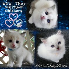 Ragdoll Kittens For Sale, Kitten For Sale, Clay Center, Daily Pictures, Picture Video, Pets, House, Animals, Home