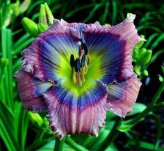 Daylily - Hemerocallis 'Butterfly Mountain'