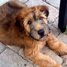 Wheaten terrier...Django's lookalike!
