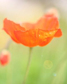Orange Tango Flower Photo-Spring Poppy Flower Photography Spring  Home Decor-Floral Bright Green Orange Spring Colors