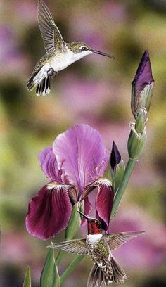 My favorite bird and flower <3 Hummingbird and Iris <3