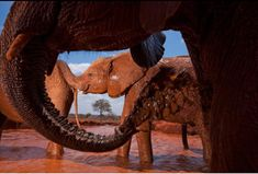 Elephants paint themselves in terra-cotta-colored mud—a refreshing ritual that keeps the bugs away and protects them from the scorching African sun. Elephant Brain, African Elephant, Elephant Sanctuary, Group Tours, Wild Ones, Orphan, National Geographic