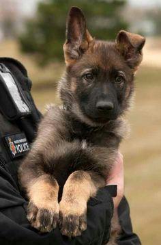 German Shepherd puppy who already has a job~!