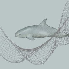 The vaquita (Phocoena sinus) is a rare species of porpoise. It is endemic to the northern part of the Gulf of California. The vaquita has taken on the title of the most endangered cetacean in the world
