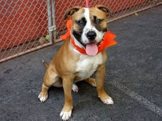 Manhattan Center  DEVIN - A0970809  I am an unaltered male, tan and white Pit Bull Terrier mix.  The shelter staff think I am about 3 years old. https://www.facebook.com/photo.php?fbid=636534906359392=a.617938651552351.1073741868.152876678058553=3