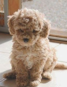 Cute Hypoallergenic Dog Breeds :)
