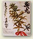 Madder Plant  Source of Alizarin Crimson