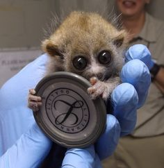 El Paso Zoo is celebrating the first Pygmy Slow Lorises ever to be born at the zoo— healthy twins! The babies, have been identified as one female and one male. At birth, the male weighed in at twenty-five grams and the female weighed in at twenty-seven grams. For reference, twenty-five grams is equivalent to about 2 tablespoons of white sugar! To see and learn more, see the full story at ZooBorns: http://www.zooborns.com/zooborns/2013/06/slow-loris.html
