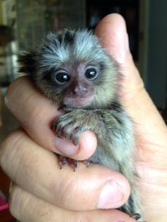 If you guessed #pocketmonkey #fingermonkeys, or #Marmoset monkeys, you're right! Meet our little friends. These guys have a body lenth of only 5 to 6 inches. They are wonderful to have at your next party of corporate function.they are vet checked and comes with the health certificates, well socialize and well trained, Text or call for more details if interested. +1(505)-750-1337   email: taylorloft34@gmail.com