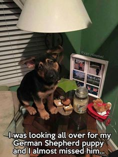Wicked Training Your German Shepherd Dog Ideas. Mind Blowing Training Your German Shepherd Dog Ideas. German Shepherd Memes, German Shepherd Puppies, Funny German Shepherds, Cute Baby Animals, Funny Animals, Animal Jokes, I Love Dogs, Cute Dogs, Dog Memes