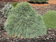 Pinus x schwerinii ' Wiethorst ' Dwarf Hybrid Pine withLoads of long, super-fine, two-color needles produce an airy, delicate quality, while a profusion of handsome, resinous cones adds to the presen
