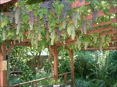 Grapes Are Not Just For The Garden Anymore. See How To Use This Edible  Landscaping. Grape Vine TrellisGrape ...