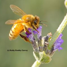 A golden honey bee (Cordovan of the Italian subspecies) nectaring lavender. (Photo by Kathy Keatley Garvey)