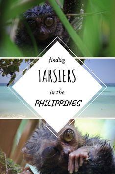 Finding the Tarsier in the Jungles of the Philippines - This Wild Life Of Mine Nocturnal Animals, Bohol, Responsible Travel, Tourist Trap, Jungles, The Visitors, Wild Life, Exotic Pets, Southeast Asia