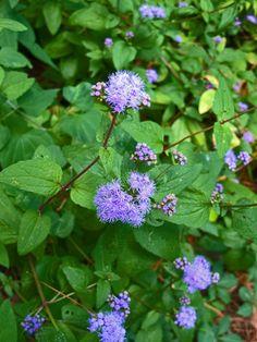 """Conoclinium coelestinum (Blue Mistflower) - part sun - 24"""" - blooms SO"""