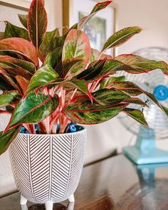 22 Stunning Aglaonema Varieties | Chinese Evergreen Types Chinese Plants, Chinese Evergreen Plant, Red Plants, Garden Plants, Calathea, Plante Zz, Snake Plant Care, Yucca, Plants