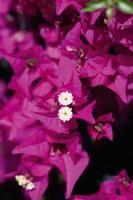 Como Fazer florir Buganvília