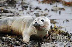 Cute Face of a Baby Harbor Seal by DejaVu Designs